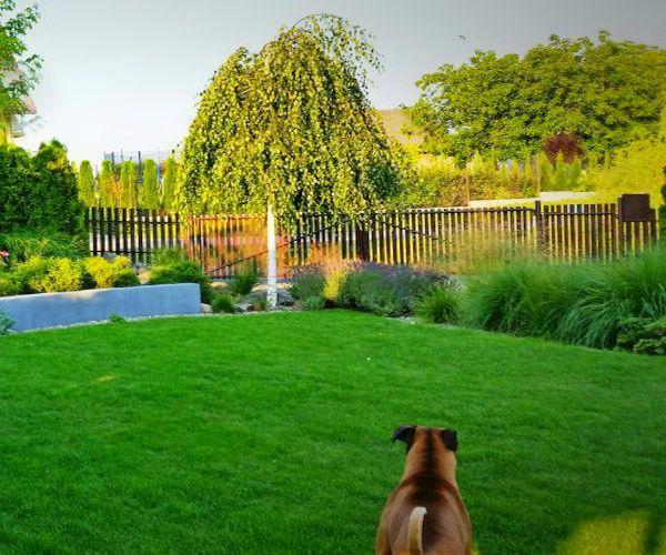 Trawnik ozdobny i rosnąca w głębi ogrodu brzoza brodawkowata Youngii
