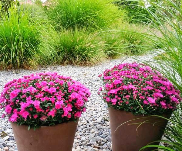 Ogród traw ozdobnych- chryzantema w donicy