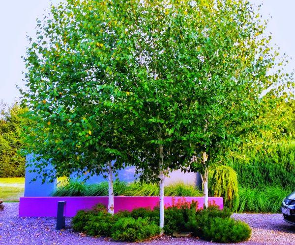 Brzoza pożyteczna Doorenbos- minimalistyczny ogród frontowy